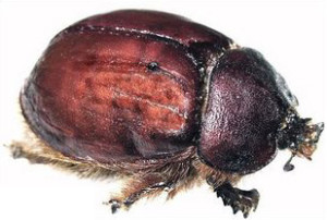 cochineal_beetle